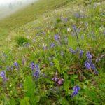 17. Stoki Skalnej Alpy porastał żmijowiec...