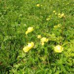 27. ...obok okazałych pełników w trawie...