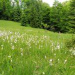 50. …i śródleśnymi łąkami w wełniankach...