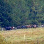 59. …obok pasących się huculskich koni…