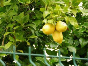 123. …i dojrzałych cytryn na drzewie.