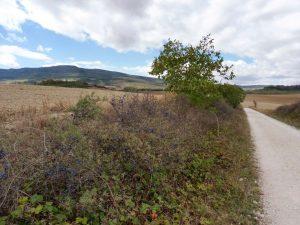 50. W stronę grzbietu Sierra del Perdonszłam w szpalerze owocującej tarniny…