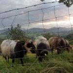 8. W brzasku przed wschodem uwieczniłam pasące się owce.