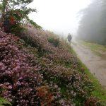 17. Na zejściu do przełęczy Ibañeta po hiszpańskiej stronie różowiły się wrzosy…