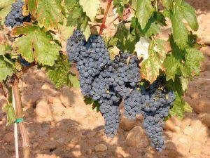 122. …z dojrzałymi już gronami winogron...