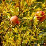 123. …i dorodnymi owocami granatów na drzewach.