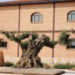 125. …i budynkiem z tysiącletnim drzewem oliwnym…