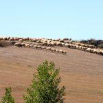 34. …stada owiec o czym przekonałam się robiąc zdjęcie zoom'em.