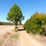 80. Szlak od drogi odgradzał szpaler krzewów tamaryszka…