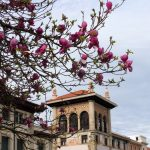 110. Wracając do albergu zachwyciły nas kwitnące magnolie.