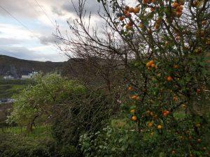 143. Kwitnące grusze i mandarynki na drzewie to była norma.
