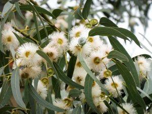 151. …a nad głową kwitnące eukaliptusy.