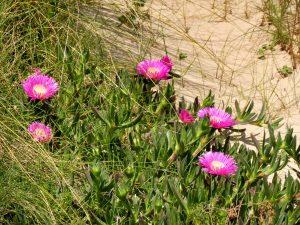 186. …z różowo kwitnącymi sukulentami wśród traw.
