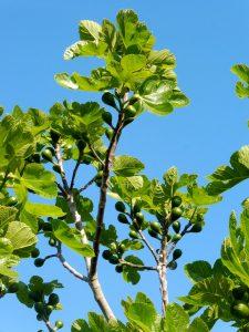 25. …i uradować oczy widokiem rosnących fig…
