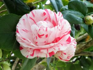 3. …i kwitła róża japońska w oryginalnym kolorze.