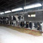 53. W oborze czyste krowy zajadały kiszonkę…