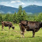 24. …spotykając wielkiej urody krowy karpackie.
