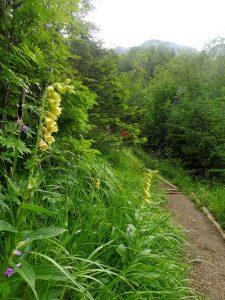 11. Szlak wiódł stokiem leśnym kwitnącym naparstnicą…