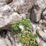 23. W szczelinie skał ujrzałam rojnik górski…