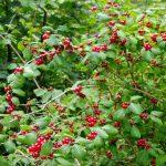 42. …owocującego wiciokrzewu suchodrzewu…
