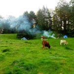 23. Rankiem odwiedziły nas krowy…