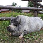 94. …gdzie czekała sympatyczna świnia…